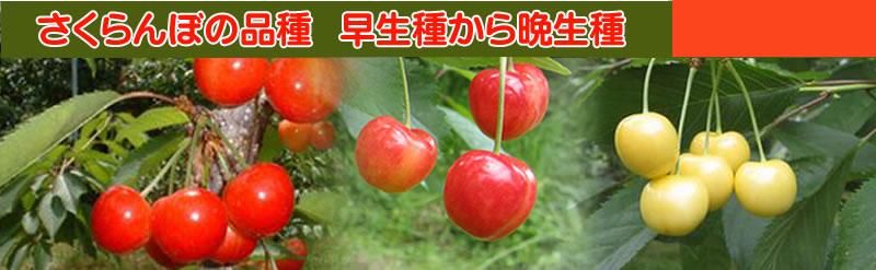 さくらんぼの品種 早生種から晩生種