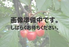 選抜佐藤錦(せんばつさとうにしき)